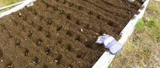 Подготовка грядки под чеснок осенью: как подготовить для посадки под зиму?