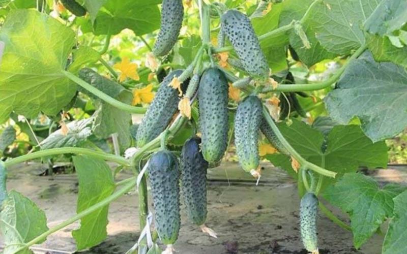 Самые урожайные огурцы для подмосковья – лучшие сорта для теплицы и открытого грунта