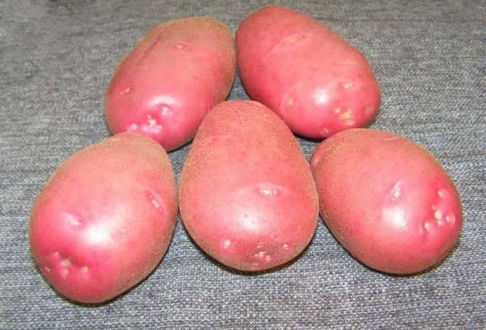 Картофель родриго: характеристика и описание сорта, фото, отзывы