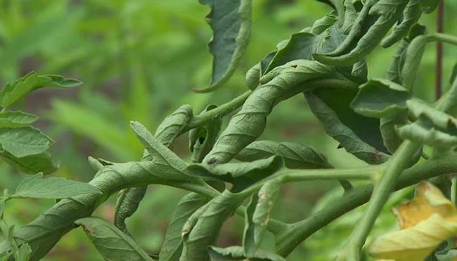 Причины скручивания листьев у баклажана