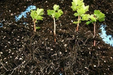 Способы размножения красной смородины, их плюсы и минусы