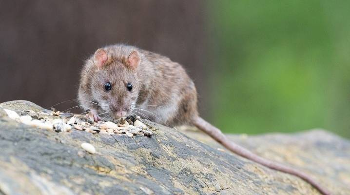 Как избавиться от мышей в доме навсегда народными средствами?