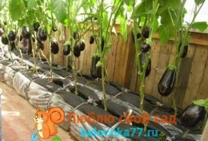 Нуждаются ли баклажаны в прищипке? особенности формирования рассады и взрослых растений