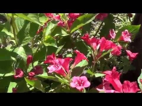 Особенности посадки Вейгелы в открытом грунте и уход за цветком