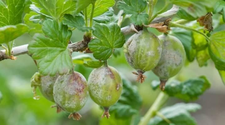 Как избавиться от белого налета на ягодах крыжовника. секреты обработки: чем опрыскивать крыжовник от белого налёта - секреты садоводов