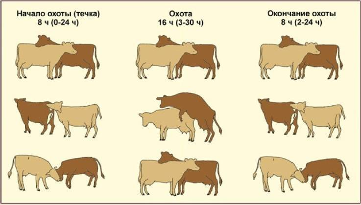 Техники искусственного осеменения коров