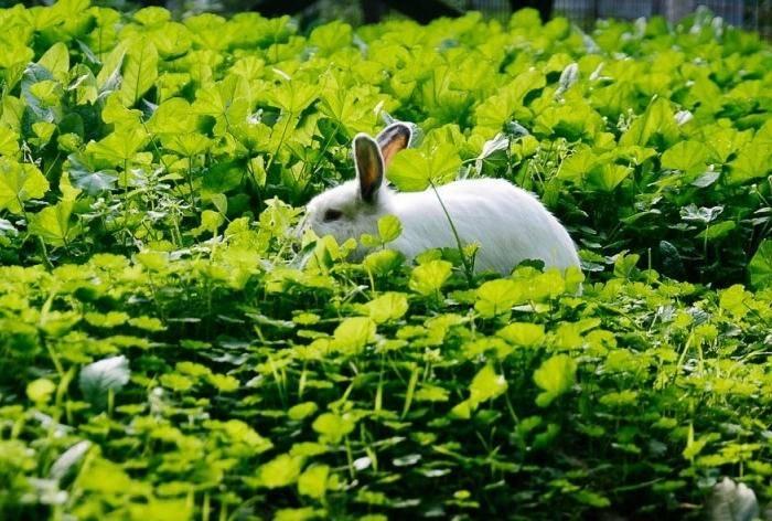 Какую траву давать кроликам можно и какую нельзя: списки с фото |
