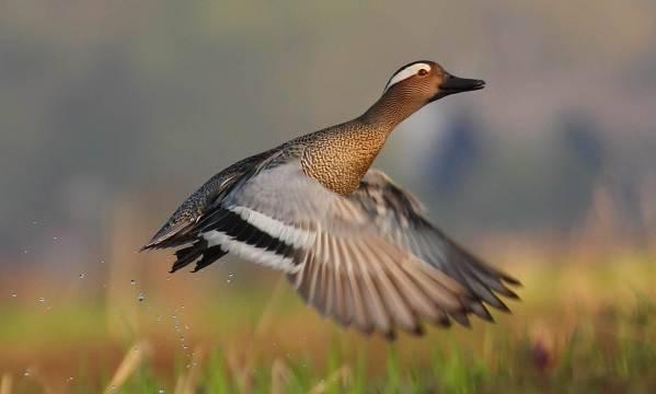 Дикие утки: общая характеристика, разновидности уток и их описание, основные отличия селезней с фото