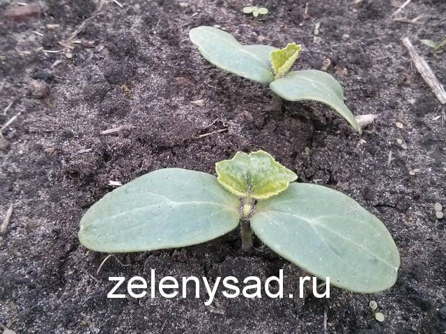 Огурцы в открытом грунте. секреты выращивания. уход, увеличение урожая. фото — ботаничка.ru