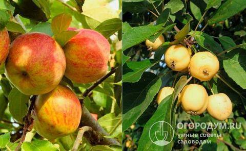 Сорт яблони бельфлер: описание, фото