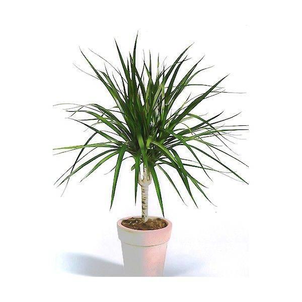 Драцена маргината или окаймленная (dracaena marginata). правила ухода, полива, проблемы при выращивании.