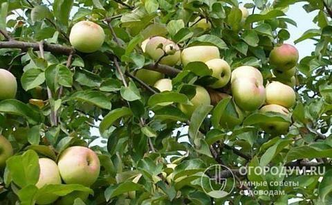 Яблоня граф эззо: фото и описание сорта, отзывы садоводов