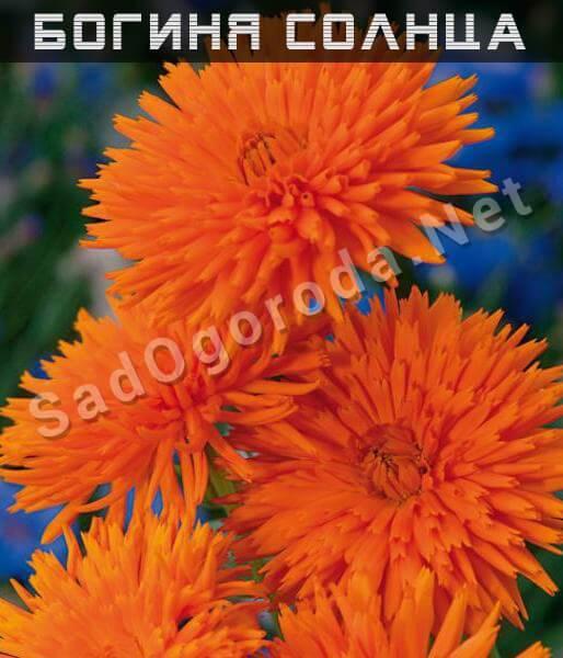 Ноготки (календула): выращивание рассады из семян, когда сажать, как использовать, какие сорта существуют (с фото)