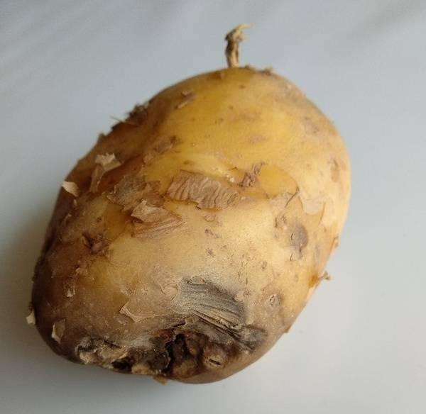 Как защитить картофель от кольцевой гнили