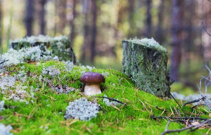 Какие грибы собирают в подмосковье