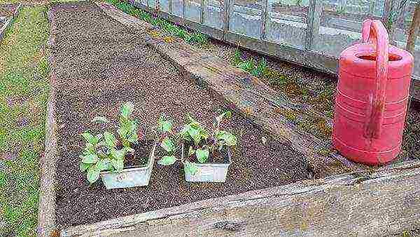 Когда сажать свеклу в открытый грунт семенами