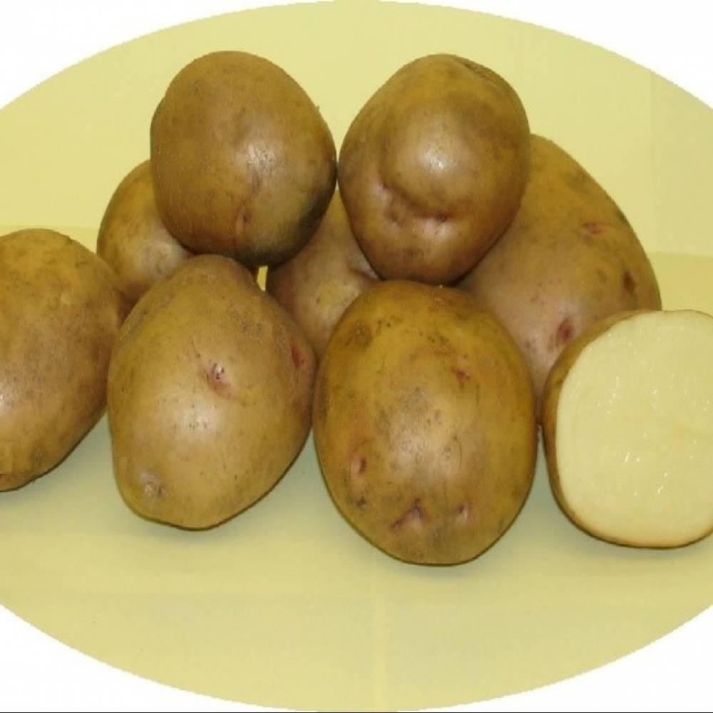 Картофель метеор: характеристика и описание сорта, фото, отзывы