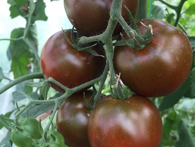 Лучшие сорта томатов для сибири