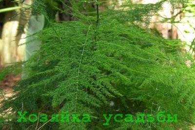 Кудрявая лиана на подоконнике – аспарагус серповидный. особенности выращивания и фото цветка