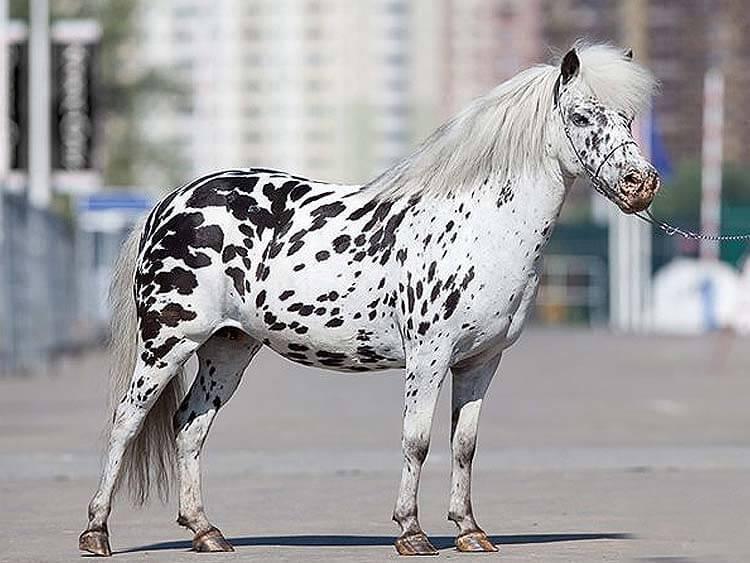 Какие виды коней пони существуют, и какие из всех мини лошадок самые красивые?