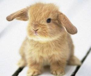 Декоративные кролики: уход и содержание в домашних условиях