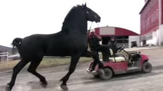 Особенности породы лошадей першерон