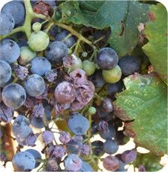 Болезни винограда и борьба с ними, описание, фото