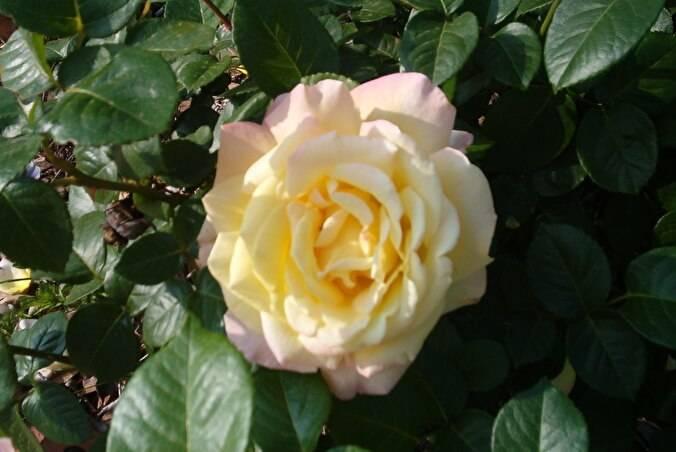 Роза глория дей (gloria dei): описание сорта, фото, посадка и уход, отзывы
