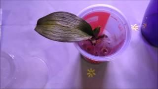 Как реанимировать орхидею: проблемы, спасение и восстановление цветка - sadovnikam.ru