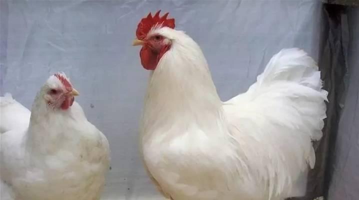 Породы белых кур несушек с описанием, фото и видео