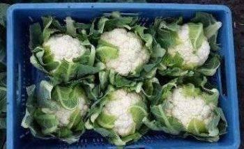 Цветная капуста: выращивание в сибири, лучшие сорта для открытого грунта, советы по уходу