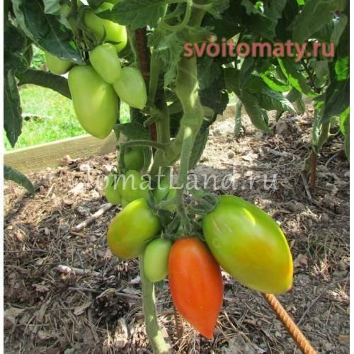 Томат «челнок»: характеристики, особенности выращивания, отзывы и фото