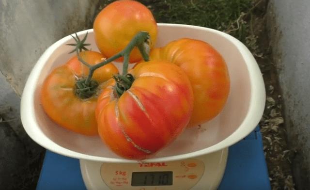 Томат медовый салют: описание, отзывы, фото, урожайность | tomatland.ru
