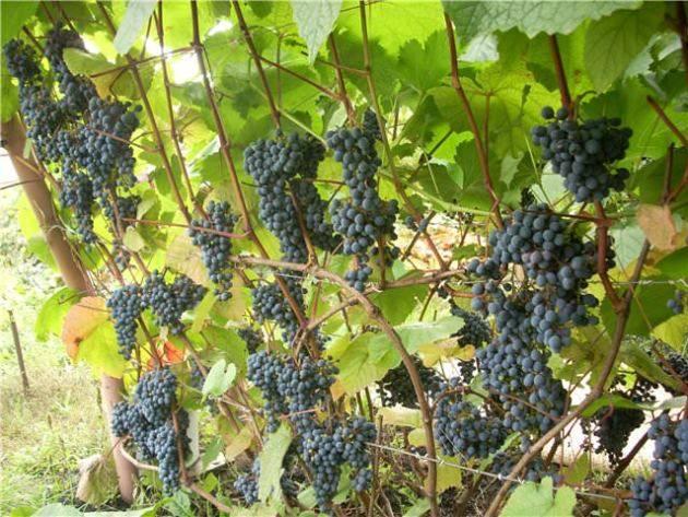 Сорт винограда триумф: что нужно знать о нем, описание сорта, отзывы
