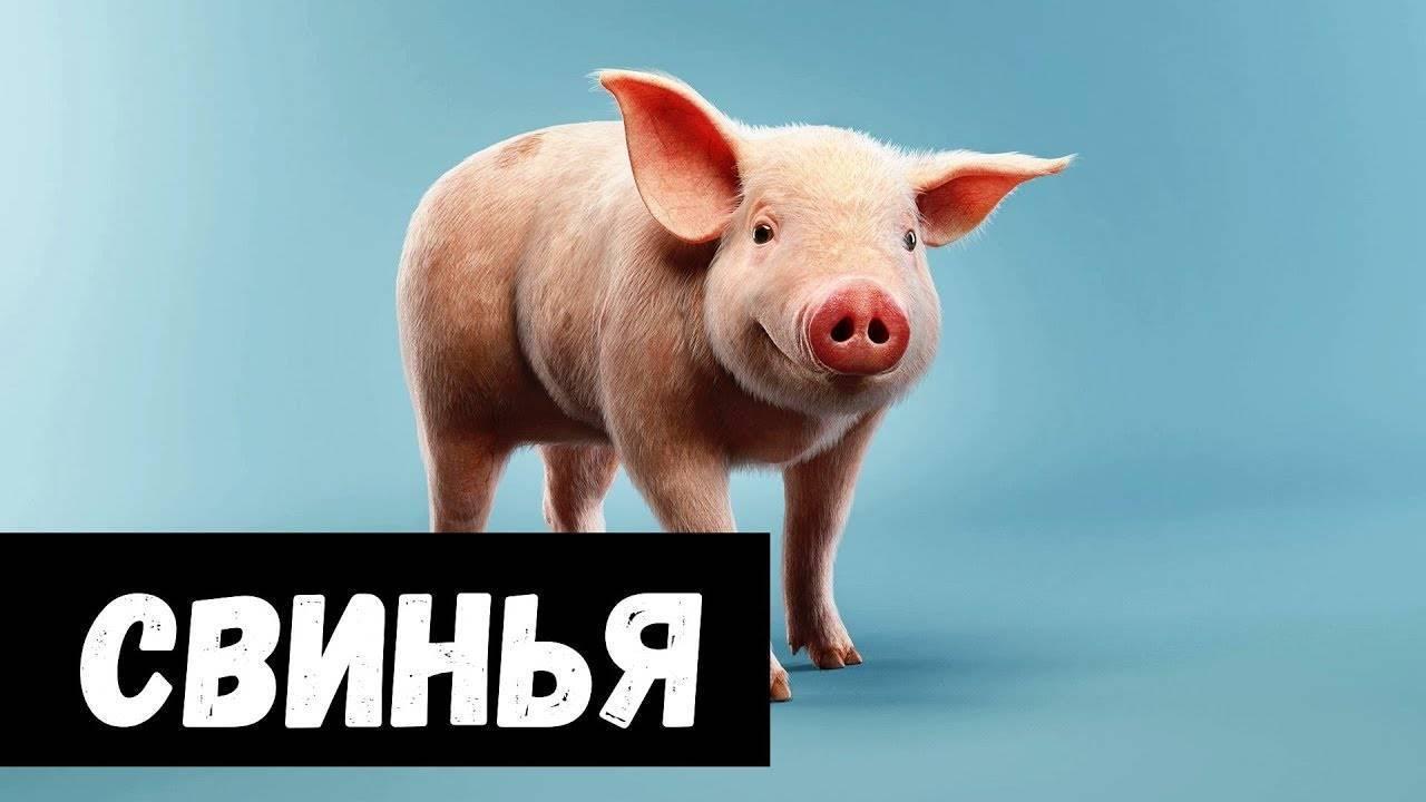 Сонник свинья кабан. к чему снится свинья кабан видеть во сне - сонник дома солнца