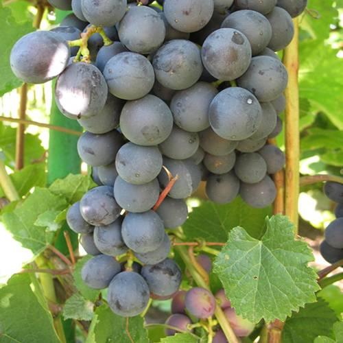 О морозоустойчивом винограде. фото — ботаничка.ru
