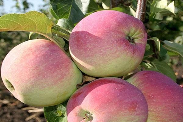 Описание сорта яблони гала: фото яблок, важные характеристики, урожайность с дерева