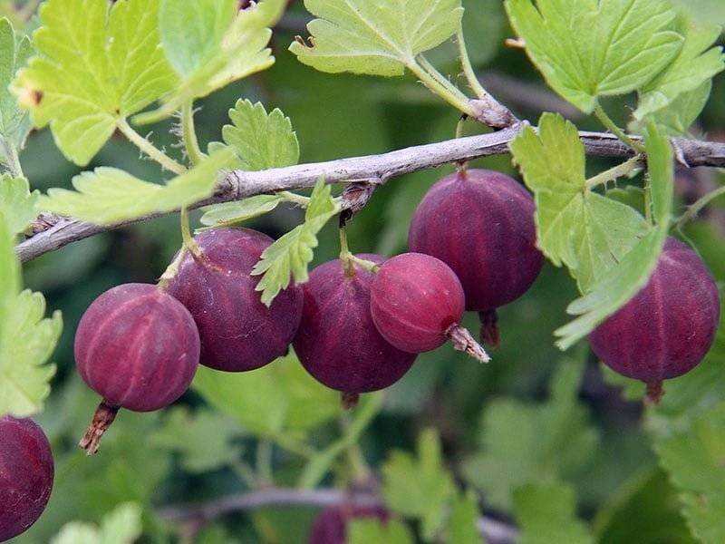 Крыжовник особенности выращивания | cельхозпортал