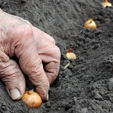 Как подготовить лук-севок к посадке весной: температура, при которой надо подогреть сеянцы, а также среда для замачивания и другие тонкости