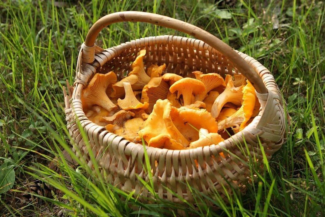 Осенние грибы— когда икакие пойдут, как отличить отопасных двойников. отдых. мтс/медиа