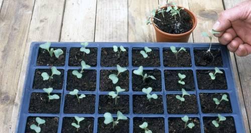 Как правильно пикировать капусту | вырасти сад!