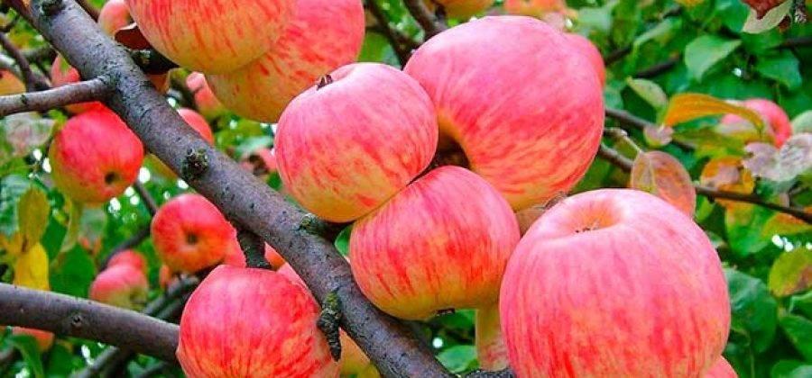 Яблоня мельба: описание и характеристика сорта, достоинства и недостатки, особенности посадки и ухода + фото и отзывы