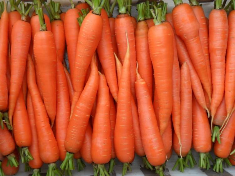 Морковь «самсон»: характеристики, особенности посадки и уход