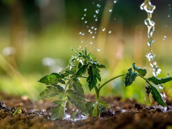Томат никола: отзывы, фото, характеристика и описание, урожайность