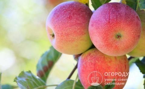 Яблоня свежесть: описание, фото, отзывы | tele4n.net