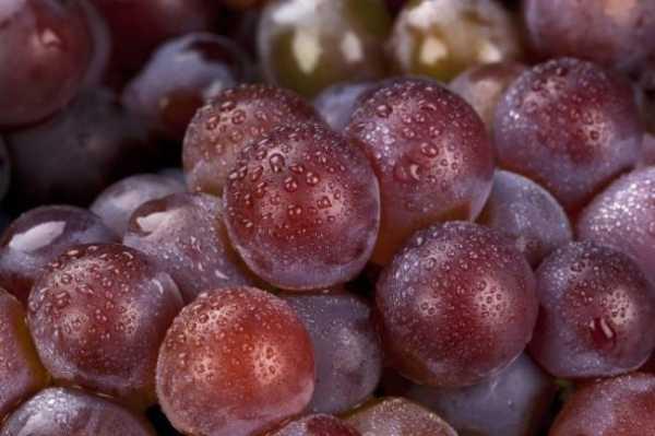 Сорт винограда подарок запорожью, описание сорта с характеристикой и отзывами, а также особенности посадки и выращивания, фото