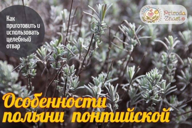 Полынь горькая: лечебные свойства и противопоказания, посадка и уход в саду
