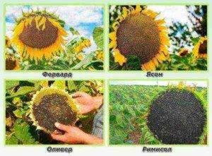 Выращивание подсолнечника: описание, классификация, особенности технологии