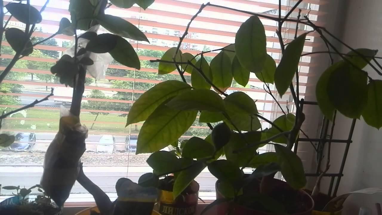 Почему у лимона опали листья и что делать для спасения растения?