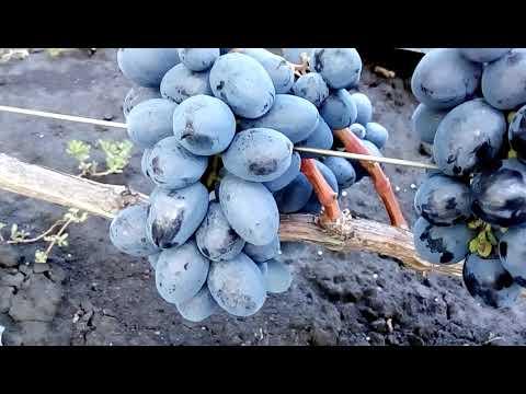 Описание винограда сорта «руслан»